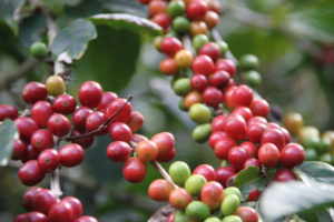 Coffee Market Recovers Slightly from December Slump