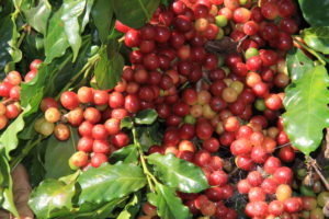 ICO reports current coffee supply remains sufficient