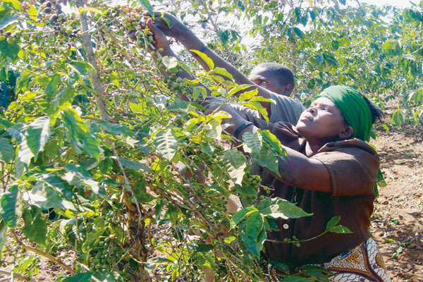 Kenya's Coffee Sector: On the Road to Recovery