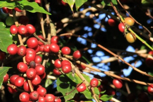 Coffee prices rose slightly in January 2019