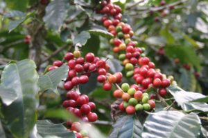 Market Turns Negative as Robusta Prices Decline