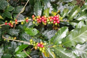 Coffee Prices Fall in November Amid Increased October Exports