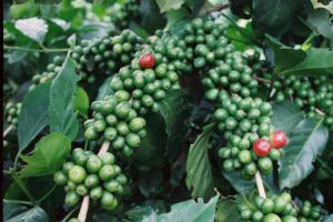 Vietnam hit record coffee output in 2015-16