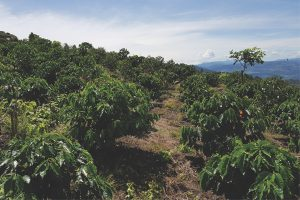 Rewriting coffee's genetic code