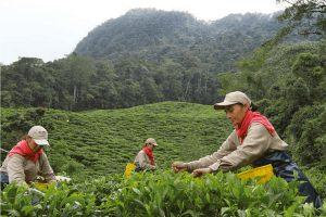 Awakening the World to Colombian Orthodox Tea