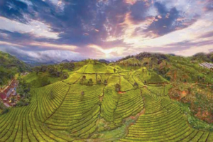 Teas from Indonesia Strive to Regain Volume and Profile