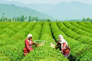 Sanctions Could Destabilize Iran's Tea and Coffee Markets