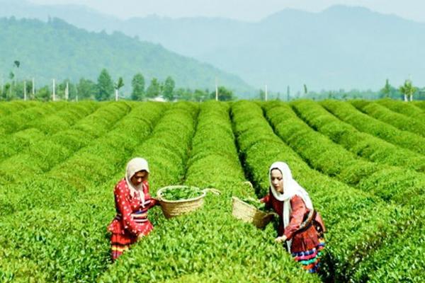 制裁可能会破坏伊朗的茶叶和咖啡市场