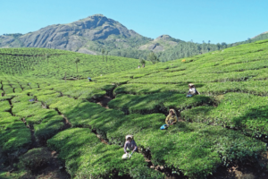 South India Teas: Attraction is Growing in the West – and the East