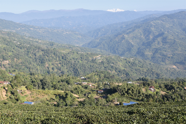 Nepali orthodox tea is on the rise