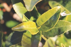 Dissecting tea – one gene at a time