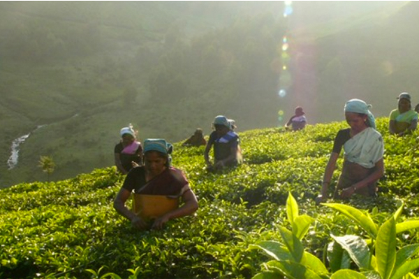 Typhoo publishes full list of global tea suppliers
