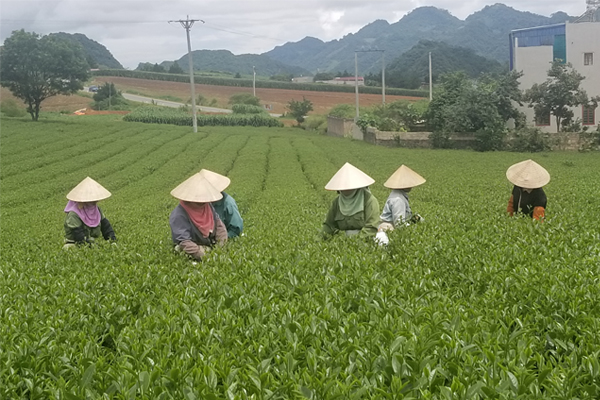 The women behind Vietnamese tea