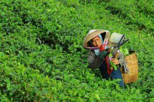 Smallholders Dominate World Tea Supply
